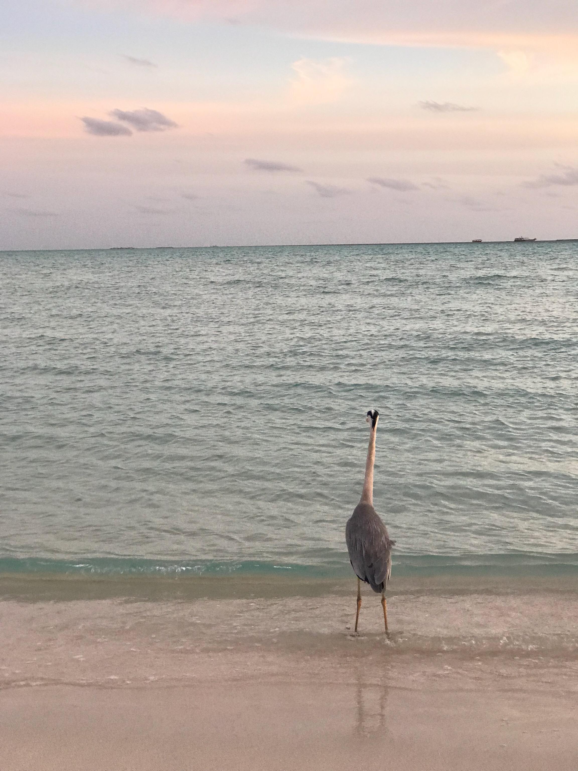 モルディブの海を見つめる鳥の写真