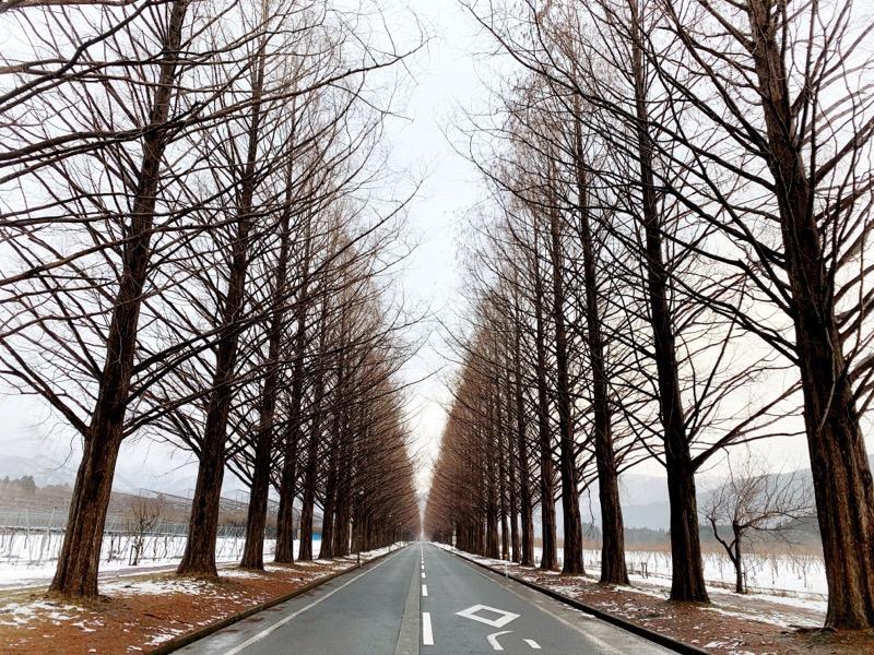 滋賀県マキノ高原メタセコイア並木道の冬の写真。