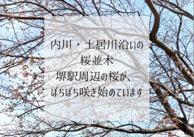 【内川・土居川沿いの桜並木】堺駅周辺の桜が、ぼちぼち咲き始めています、というブログのタイトル画像